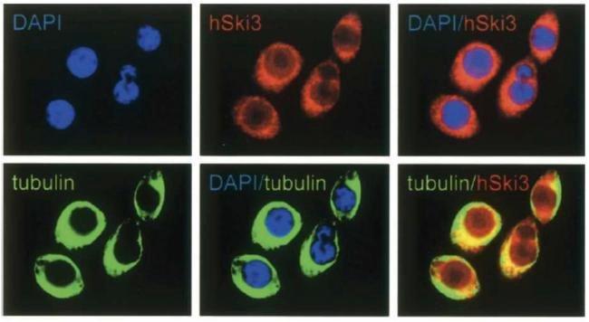 SKI3 Rabbit anti-Human, Polyclonal, Invitrogen 150 µg; Unconjugated