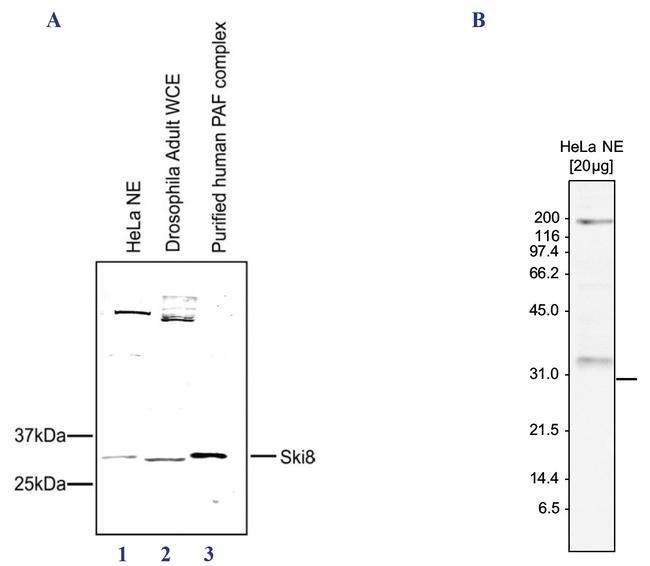 WDR61 Rabbit anti-Drosophila, Human, Polyclonal, Invitrogen 150 µg;