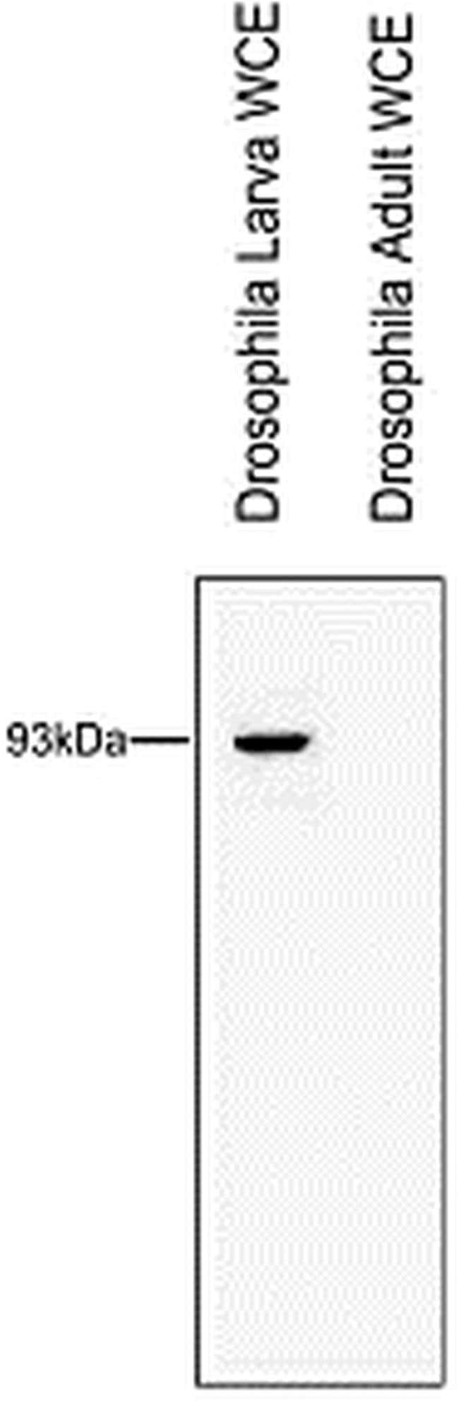 RTF1 Rabbit anti-Drosophila, Polyclonal, Invitrogen 50 µg; Unconjugated