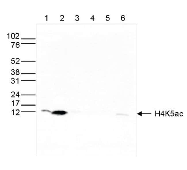 Acetyl-Histone H4 (Lys5) Rabbit anti-Human, Mouse, Polyclonal, Invitrogen