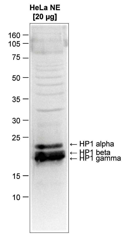HP1 alpha/beta/gamma Rabbit anti-Human, Mouse, Polyclonal, Invitrogen 50