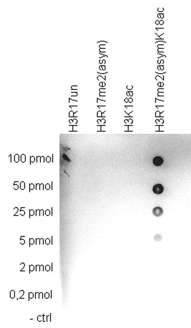 Di-Methyl-Acetyl-Histone H3 (Arg17, Lys18) Rabbit anti-Human, Mouse, Polyclonal,
