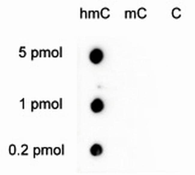 5-hydroxymethylcytosine Rabbit anti-Human, Mouse, Polyclonal, Invitrogen