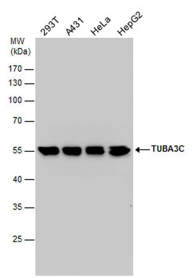 TUBA3C Rabbit anti-Human, Polyclonal, Invitrogen 100 µL; Unconjugated