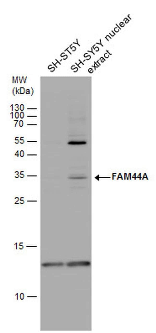 FAM44A Rabbit anti-Human, Polyclonal, Invitrogen 100 µL; Unconjugated