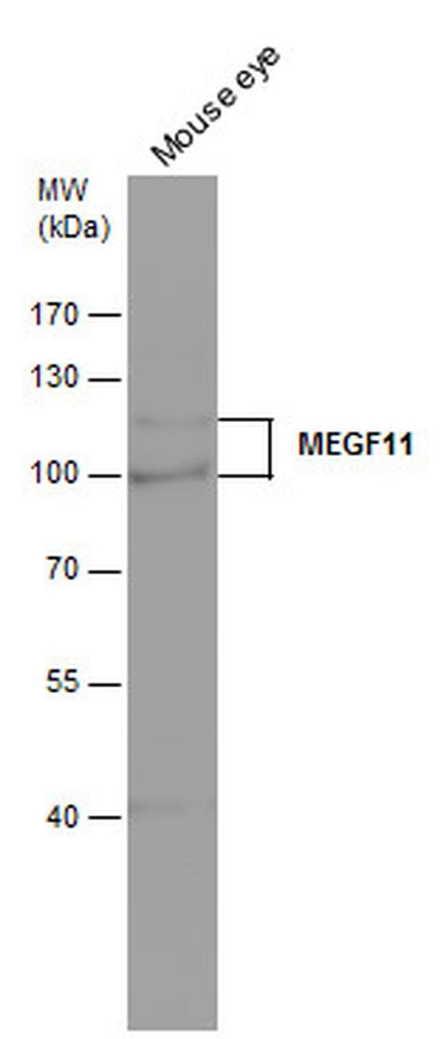 MEGF11 Rabbit anti-Human, Mouse, Polyclonal, Invitrogen 100 µL; Unconjugated