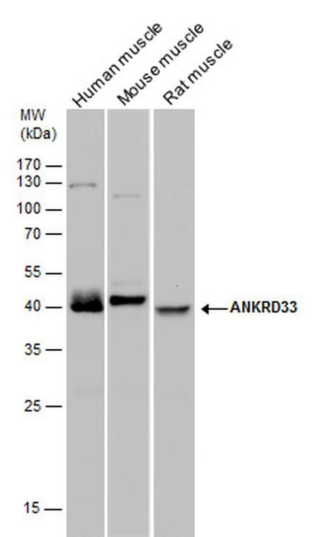 ANKRD33 Rabbit anti-Human, Mouse, Rat, Polyclonal, Invitrogen 100 µL;