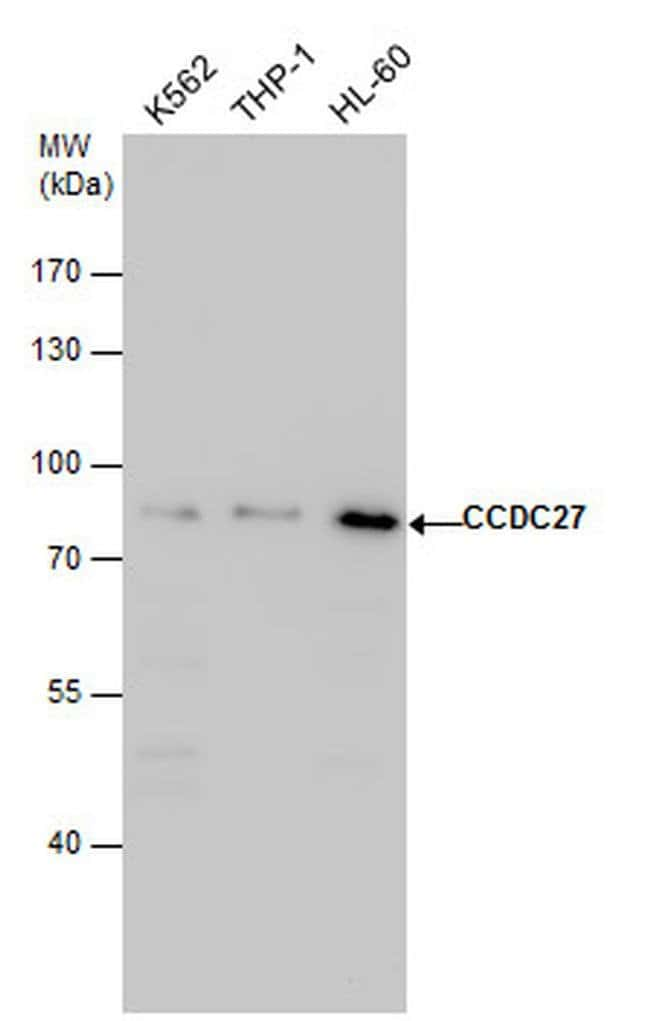 CCDC27 Rabbit anti-Human, Polyclonal, Invitrogen 100 µL; Unconjugated