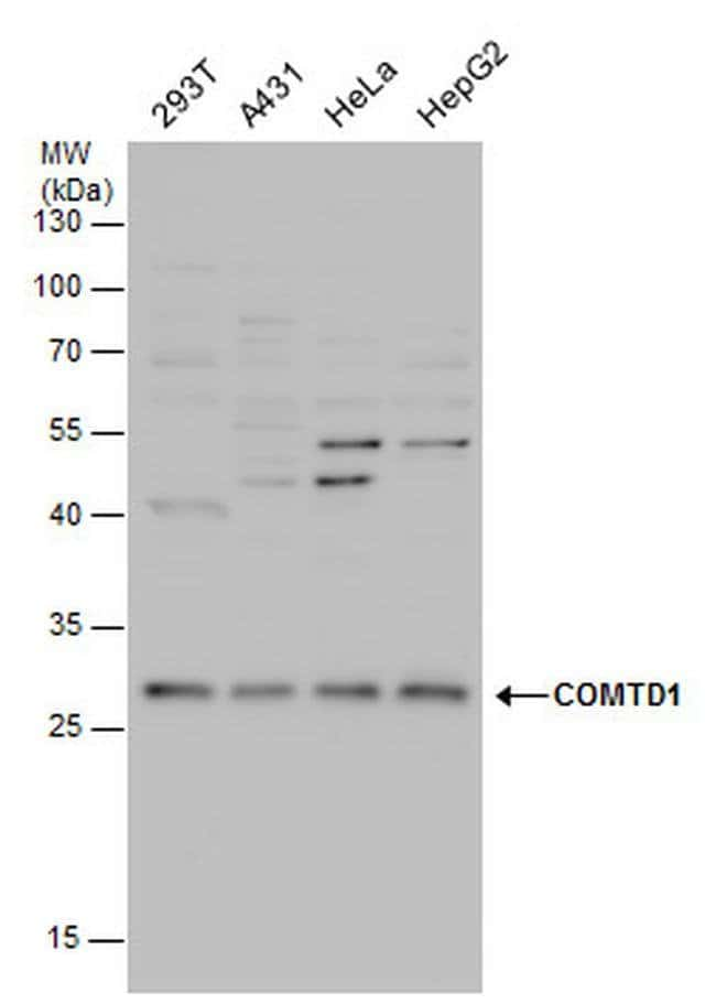 COMTD1 Rabbit anti-Human, Polyclonal, Invitrogen 100 µL; Unconjugated