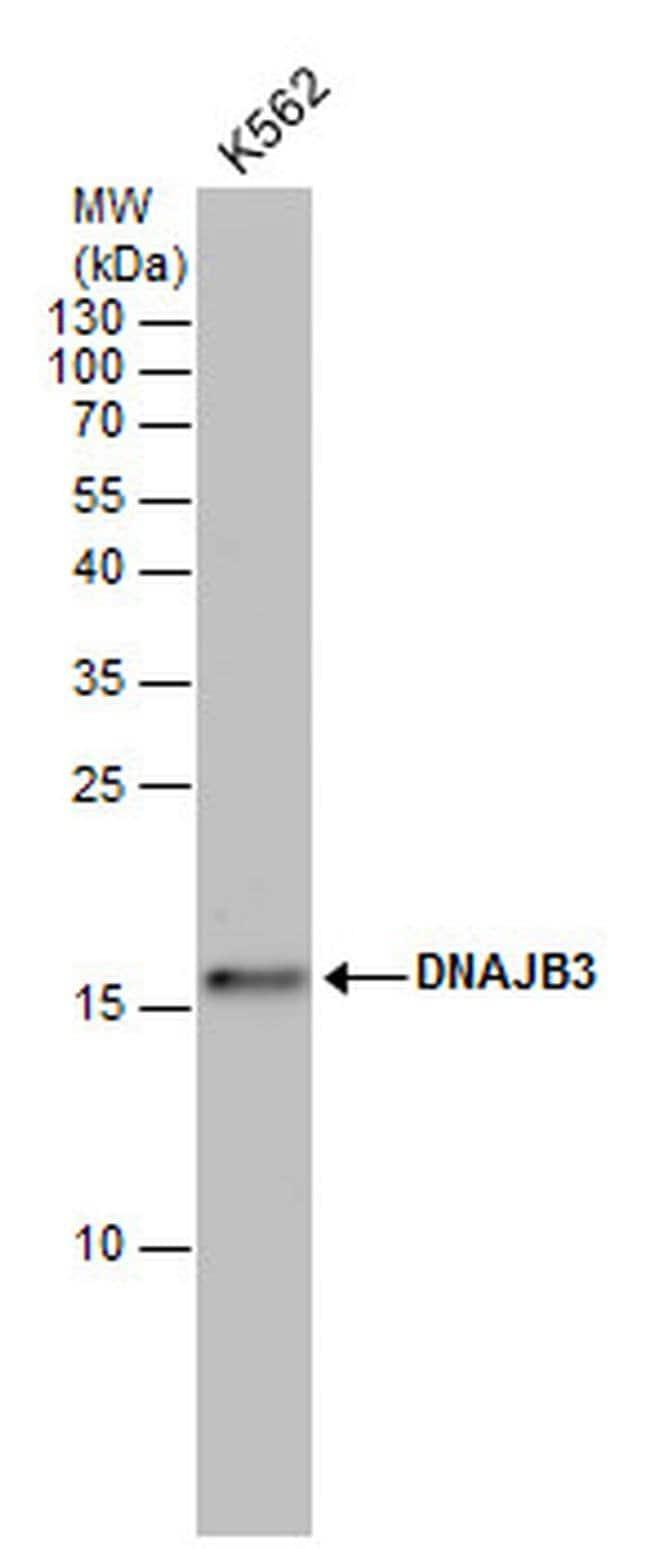 DNAJB3 Rabbit anti-Human, Polyclonal, Invitrogen 100 µL; Unconjugated