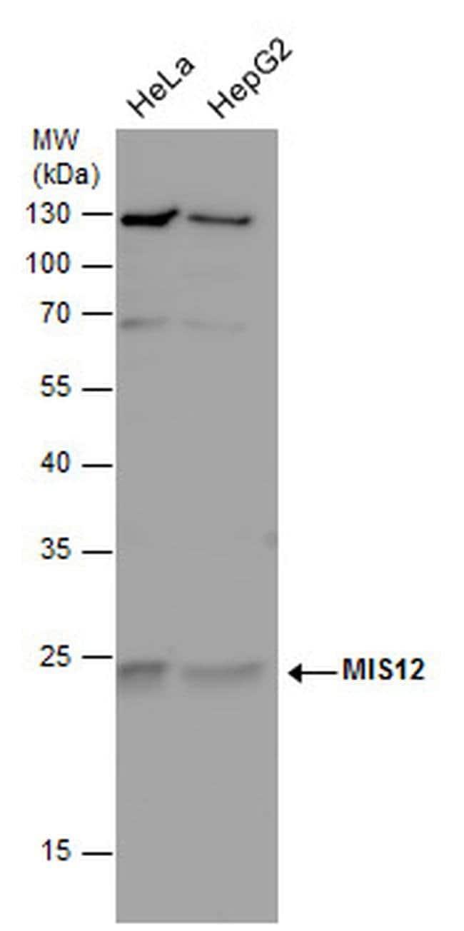 MIS12 Rabbit anti-Human, Polyclonal, Invitrogen 100 µL; Unconjugated