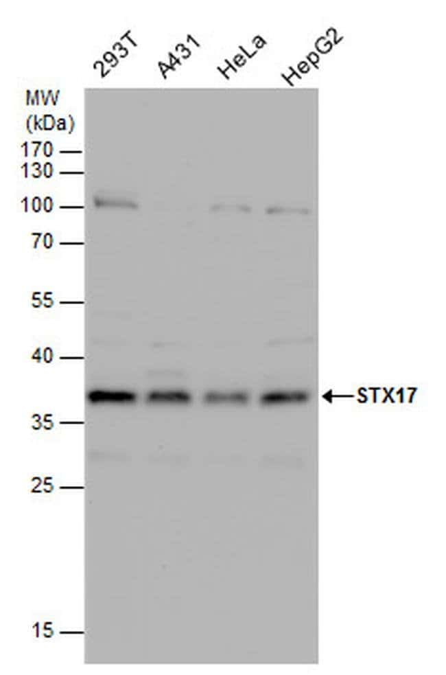 STX17 Rabbit anti-Human, Mouse, Polyclonal, Invitrogen 100 µL; Unconjugated