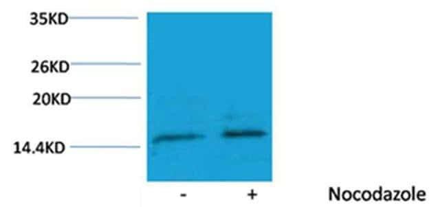 Phospho-Histone H3 (Ser10) Rabbit anti-Human, Polyclonal, Invitrogen 100