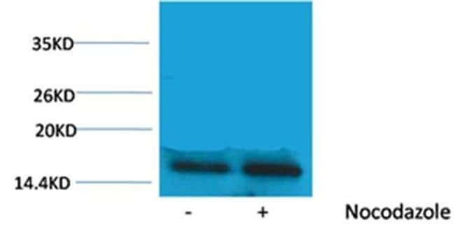 Phospho-Histone H3 (Thr45) Rabbit anti-Human, Polyclonal, Invitrogen 100