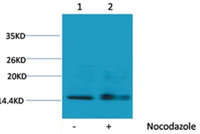 Phospho-Histone H1 (Ser1) Rabbit anti-Human, Polyclonal, Invitrogen 100