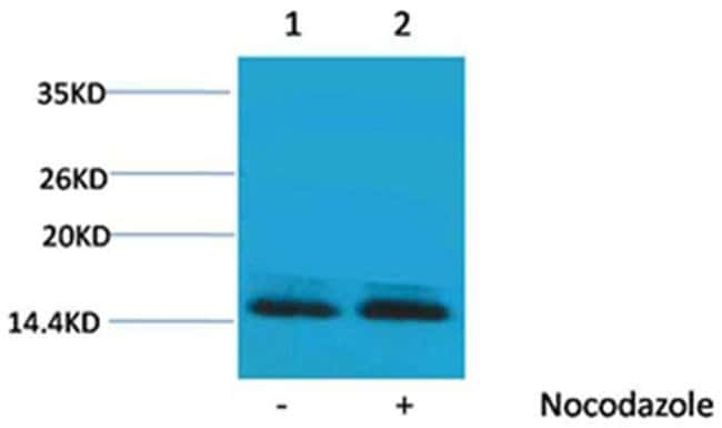 Phospho-Histone H2B (Ser14) Rabbit anti-Human, Polyclonal, Invitrogen 100