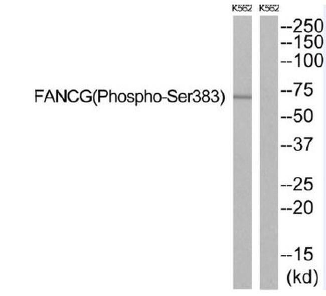 Phospho-FANCG (Ser383) Rabbit anti-Human, Non-human primate, Polyclonal,