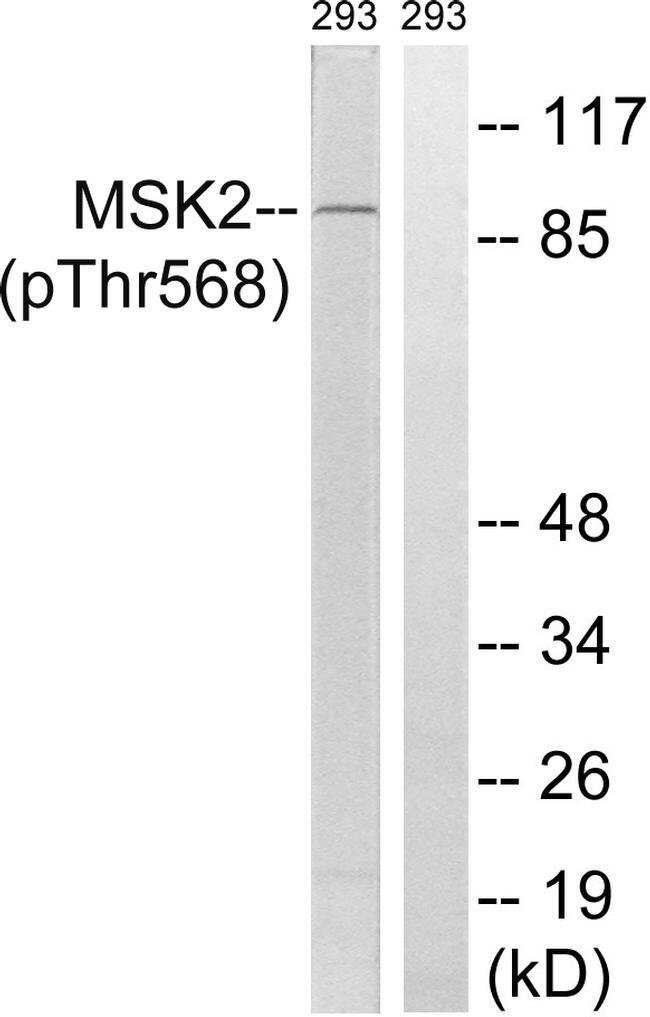 Phospho-MSK2 (Thr568) Rabbit anti-Human, Polyclonal, Invitrogen 100 µL;