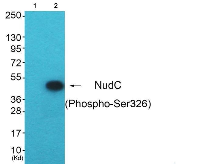 Phospho-NUDC (Ser326) Rabbit anti-Human, Rat, Polyclonal, Invitrogen 100