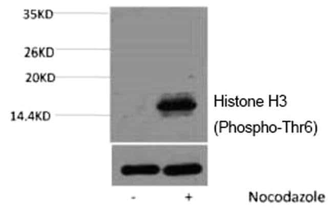 Phospho-Histone H3 (Thr6) Rabbit anti-Human, Mouse, Polyclonal, Invitrogen