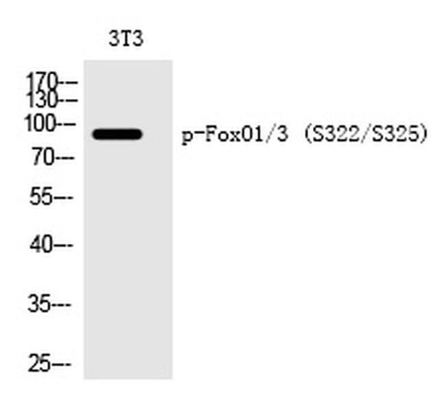 Phospho-FOXO1/FOXO3 (Ser322, Ser325) Rabbit anti-Human, Mouse, Polyclonal,