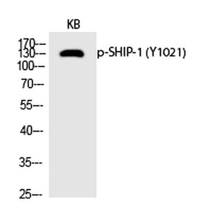 Phospho-SHIP1 (Tyr1021) Rabbit anti-Human, Polyclonal, Invitrogen 100 µL;