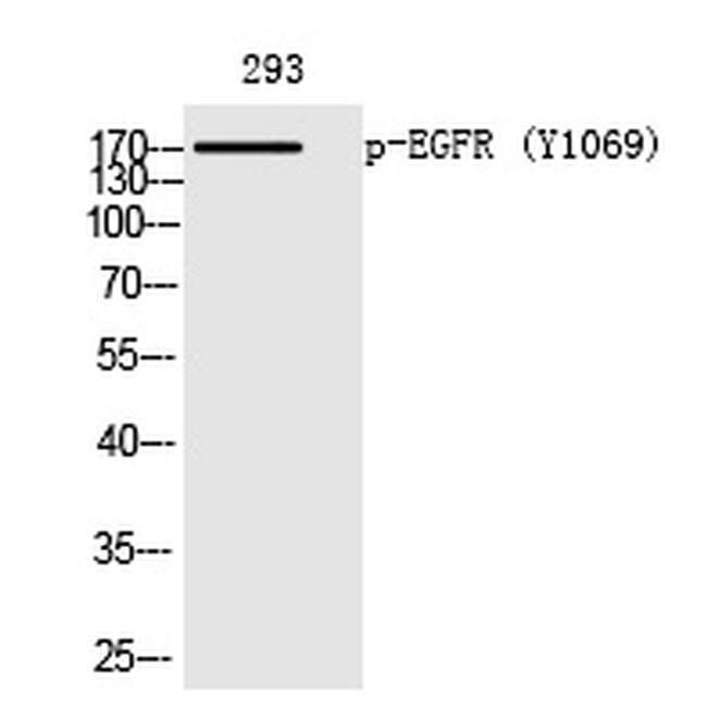 Phospho-EGFR (Tyr1069) Rabbit anti-Human, Polyclonal, Invitrogen 100 µL;