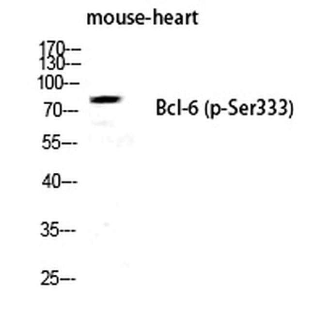 Phospho-Bcl-6 (Ser333) Rabbit anti-Human, Mouse, Polyclonal, Invitrogen