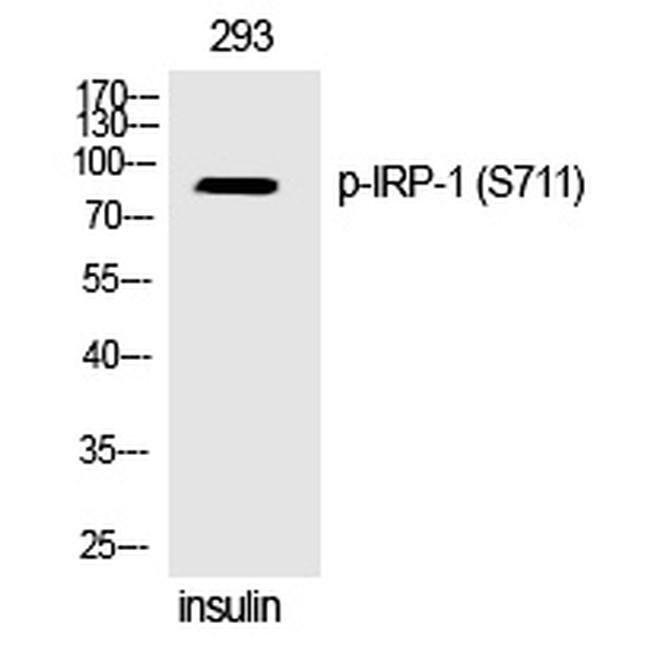 Phospho-Aconitase 1 (Ser711) Rabbit anti-Human, Polyclonal, Invitrogen
