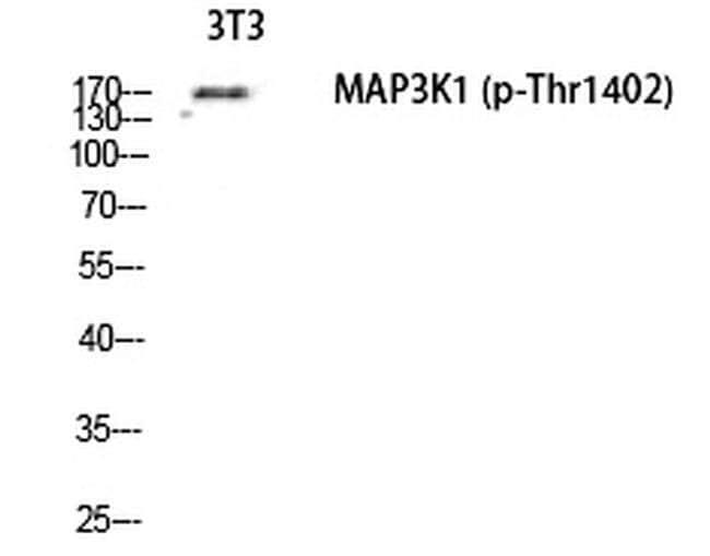 Phospho-MEKK1 (Thr1402) Rabbit anti-Human, Mouse, Polyclonal, Invitrogen