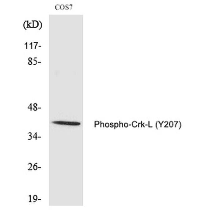 Phospho-CrkL (Tyr207) Rabbit anti-Human, Non-human primate, Polyclonal,