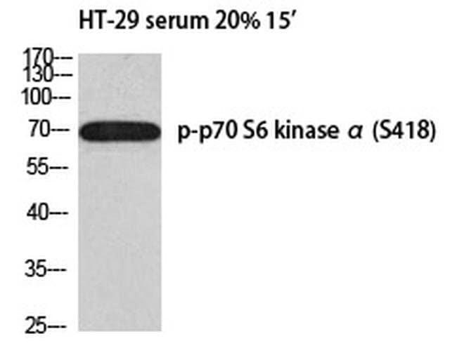 Phospho-p70 S6 Kinase (Ser418) Rabbit anti-Human, Polyclonal, Invitrogen