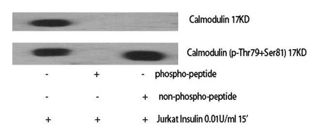 Phospho-Calmodulin (Thr80, Ser82) Rabbit anti-Human, Polyclonal, Invitrogen