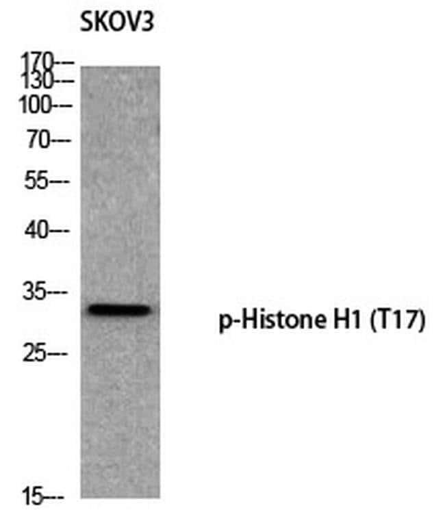 Phospho-Histone H1 (Thr17) Rabbit anti-Human, Polyclonal, Invitrogen 100