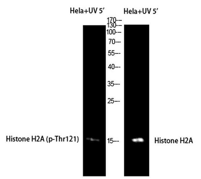 Phospho-Histone H2A (Thr121) Rabbit anti-Human, Polyclonal, Invitrogen