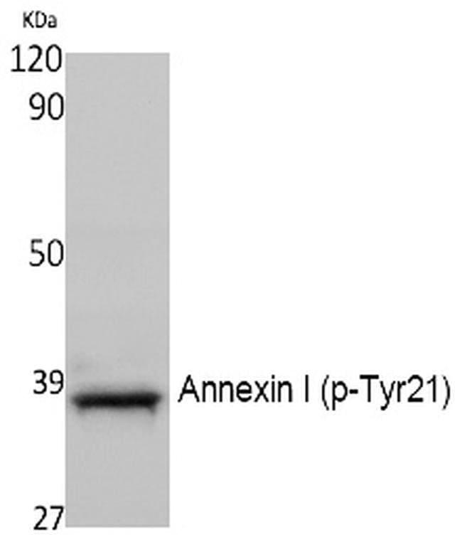 Phospho-Annexin A1 (Tyr21) Rabbit anti-Human, Mouse, Polyclonal, Invitrogen