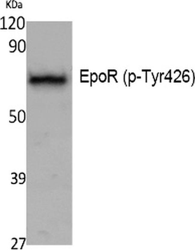 Phospho-EpoR (Tyr426) Rabbit anti-Human, Polyclonal, Invitrogen 100 µL;