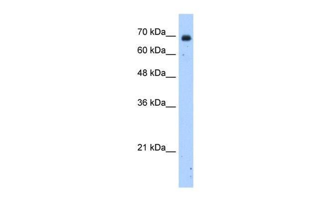 ZNF823 Rabbit anti-Human, Polyclonal, Invitrogen™ 100 μL; Unconjugated Primary Antibodies Hs to Hz
