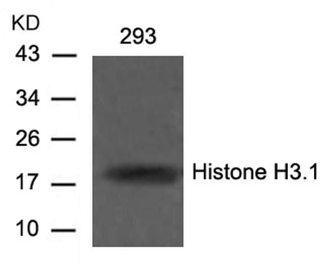 Histone H3 Rabbit anti-Human, Mouse, Rat, Polyclonal, Invitrogen 100 µL;
