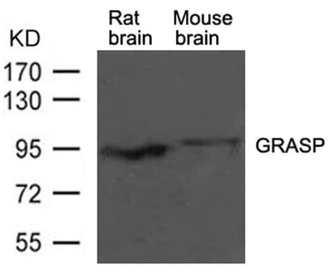 GRASP1 Rabbit anti-Human, Mouse, Rat, Polyclonal, Invitrogen 100 µL;