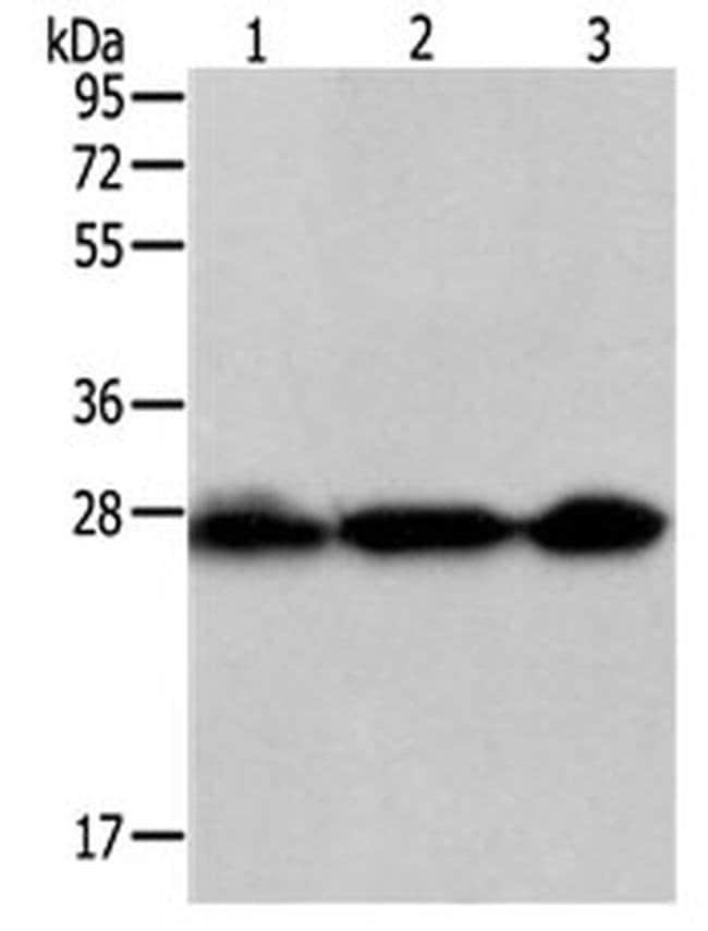 PDCD10 Rabbit anti-Human, Polyclonal, Invitrogen 100 µL; Unconjugated