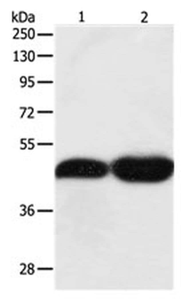 TEKT1 Rabbit anti-Human, Mouse, Polyclonal, Invitrogen 100 µL; Unconjugated