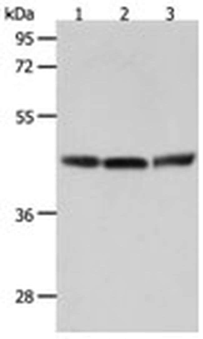RXFP4 Rabbit anti-Human, Mouse, Polyclonal, Invitrogen 100 µL; Unconjugated
