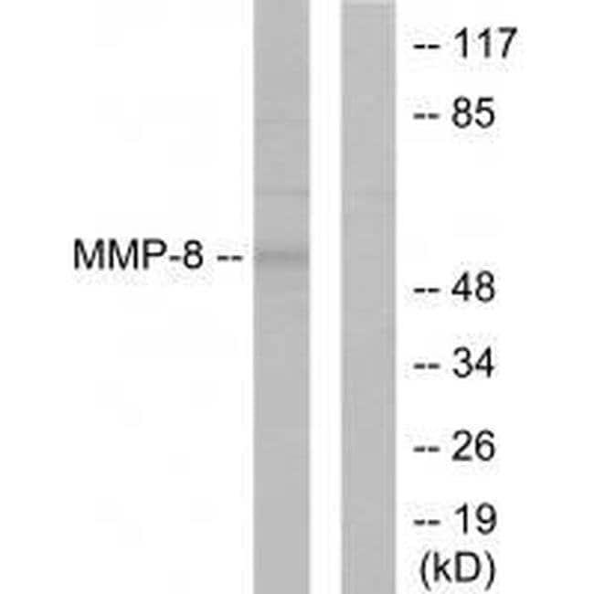 MMP8 Rabbit anti-Human, Mouse, Rat, Polyclonal, Invitrogen 100 µL;