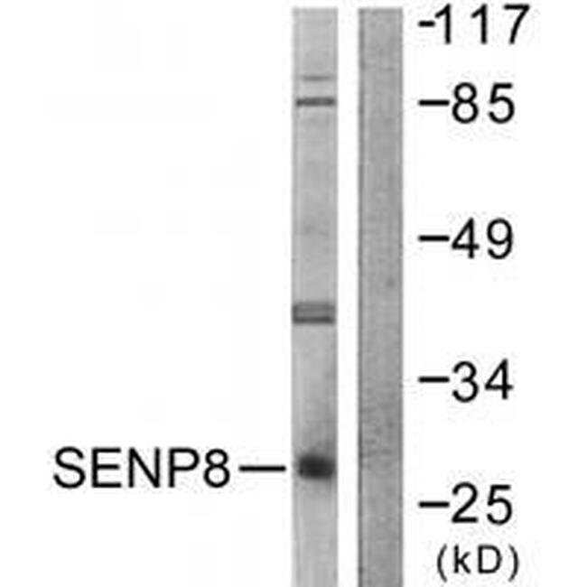 SENP8 Rabbit anti-Human, Mouse, Rat, Polyclonal, Invitrogen 100 µL;