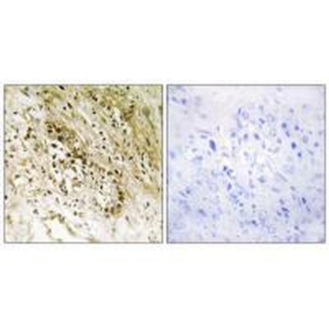 PDZD2 Rabbit anti-Human, Polyclonal, Invitrogen 100 µL; Unconjugated