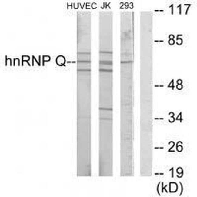 HnRNP Q Rabbit anti-Human, Mouse, Rat, Polyclonal, Invitrogen 100 µL;