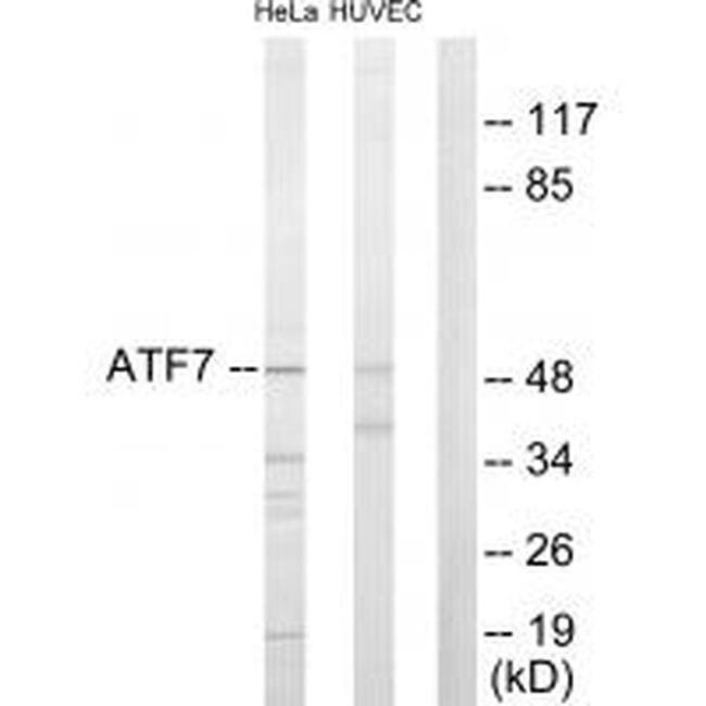 ATF7 Rabbit anti-Human, Mouse, Polyclonal, Invitrogen 100 µL; Unconjugated