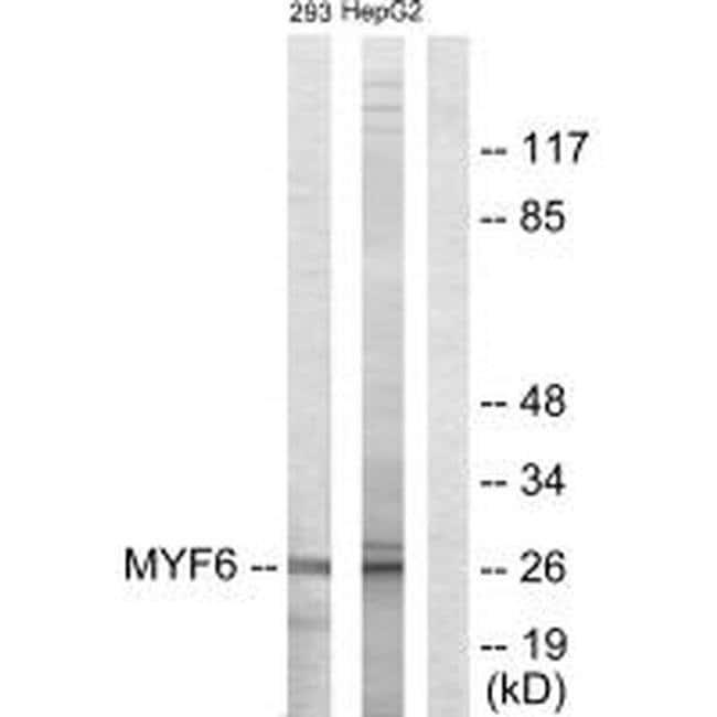 MYF6 Rabbit anti-Human, Mouse, Rat, Polyclonal, Invitrogen 100 µL;