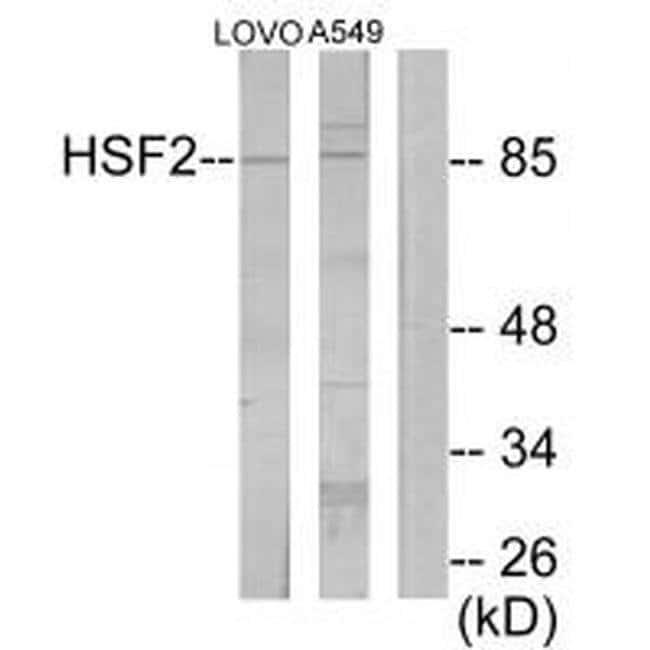 HSF2 Rabbit anti-Human, Mouse, Rat, Polyclonal, Invitrogen 100 µL;